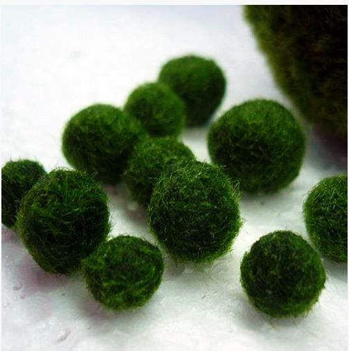 Marimo-Russian-1-Underwater-Mini-Moss-Ball
