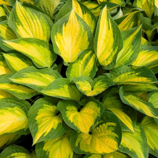 Hosta orange marmolade