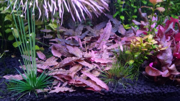 Cryptocoryne Petchii Pink