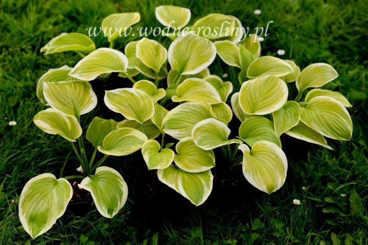 FUNKIA HOSTA FRAGRANT BOUQUET