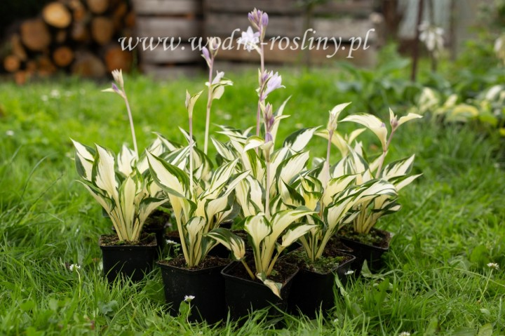 FUNKIA HOSTA FIRE AND ICE