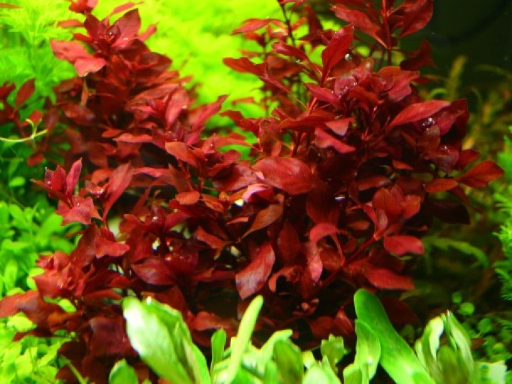 Ludwigia Super Red Mini