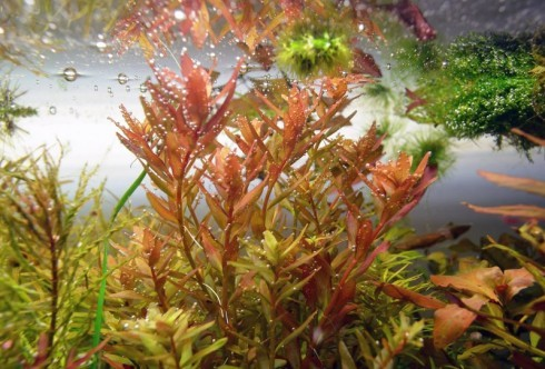 Rotala sp Coin Leaf